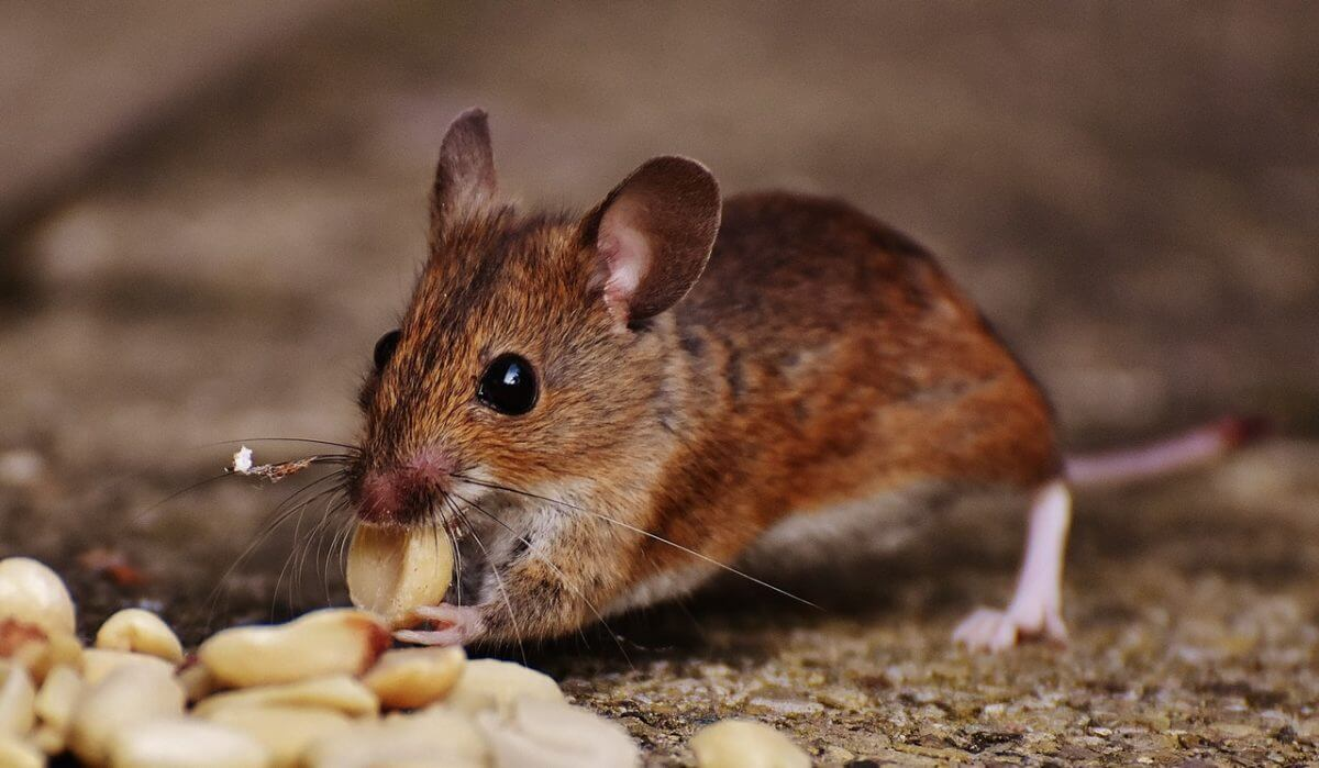 how to keep mice out of kitchen drawers